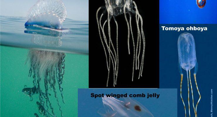 Info about Jellyfish surrounding Bonaire