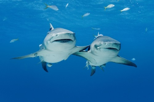 Major steps for international protection of Caribbean sharks