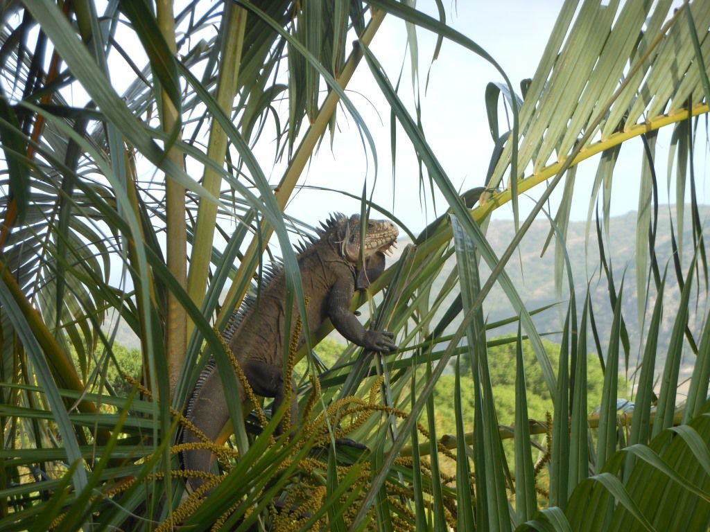 Iguana in palm