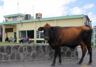 Statia Government to Continue Removal of Roaming Animals
