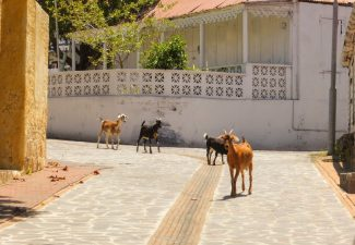 On Statia: Continued Incentives for Farmers who Remove Roaming Animals