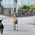 Goat Removal Program Saba Starts Coming Week