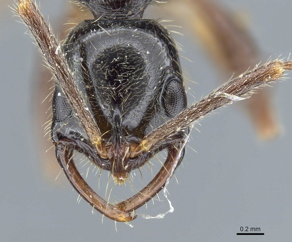Ants of the Dutch Caribbean