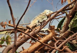 Statian Iguanas Prominently Displayed at Blijdorp Zoo Rotterdam